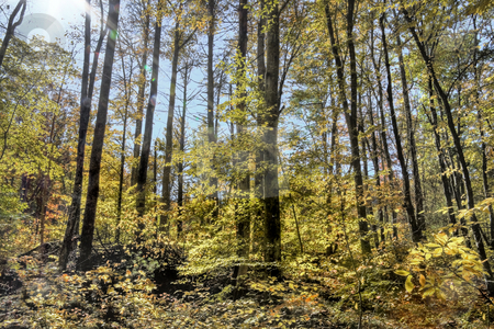 Autumn forest stock photo, Autumn woods with sun shining down through the tree tops. by Robert Ranson