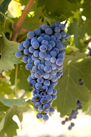 Grapes on the vine stock photo, A beautiful view of a bunch of fresh, juicy ripe Cabernet Sauvignon grapes still on the vine, ready to be picked. by Manuel Ribeiro