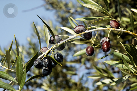 Olives stock photo, Bunch of black olives by Manuel Ribeiro