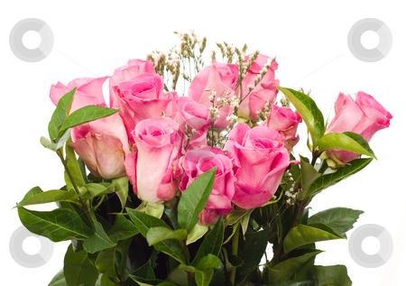 Isolated Fresh Roses stock photo, A dozen fresh roses, isolated against a white background by Richard Nelson