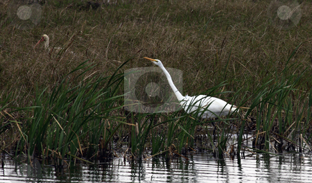 Egret  stock photo, Adult Egret in foreground, Ibis in background.  Both birds are hunting in the Marsh by Marburg