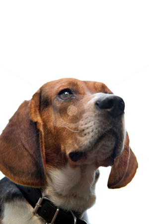 Isolated Beagle stock photo, A young beagle dog isolated over white. by Todd Arena