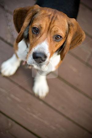 Curious Beagle stock photo, A young beagle dog looking at the camera out of curiosity. by Todd Arena