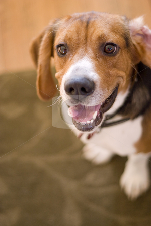 Cute Beagle Dog stock photo, A cute purebred beagle with plenty of copy space. by Todd Arena