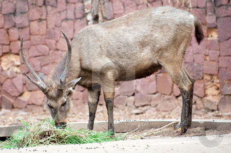 Deer stock photo, Deer buck eating grass at Korat Zoo, Thailand. by Pawee Lorsuwannarat