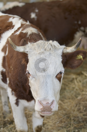 Cow stock photo, Brown and white cow in a farm by Massimiliano Leban