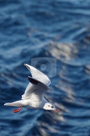 Seagull stock photo, Flying seagull on a waving blue sea by Massimiliano Leban