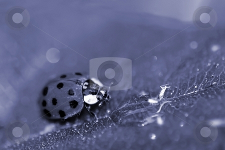 Lady Bug stock photo, Coccinellids or ladybugs are small insects and are found worldwide with over 5000 species. by Henrik Lehnerer