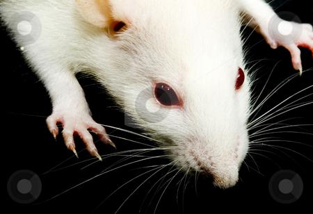 White rat with black eyes - photo#23