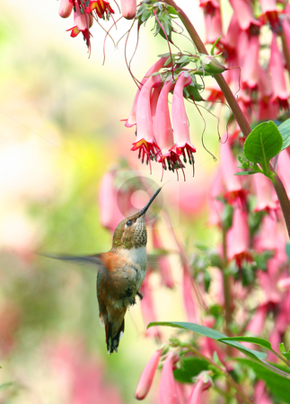 Hummingbird Paridise stock photo, Rufous Hummingbird feeding on necter from a cape fuchsia flower. by Philipe Ancheta