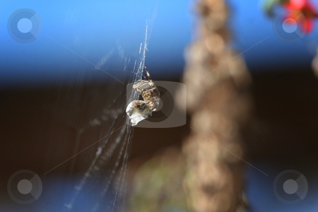 Garden spider feeding stock photo, Garden feeding on a bee caught in it's web. by Philipe Ancheta