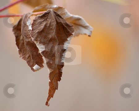 Dead Leaf stock photo, A brown dead leaf on it's branch by Alain Turgeon