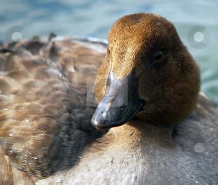 Duck stock photo, Closeup portrait of a duck by Alain Turgeon
