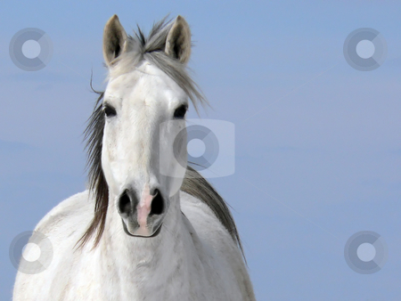 Pale Rider (Horse - Equus caballus) stock photo, A portrait of a beautiful white horse(Equus caballus) by Alain Turgeon