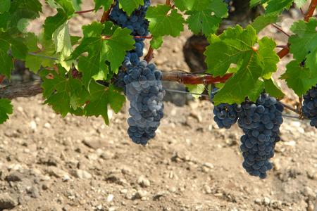 Wein im Medoc / Wine rapes stock photo, Wein im Medoc by Wolfgang Heidasch