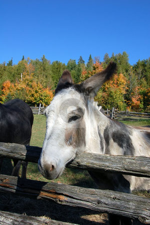 Donkey stock photo, Close-up picture of a donkey with a fall background by Alain Turgeon