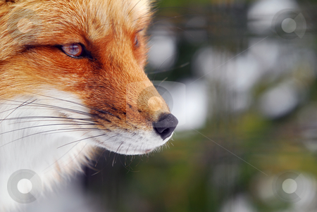 Red Fox stock photo, Close-up picture of a wild Red Fox by Alain Turgeon