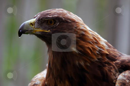 Golden Eagle stock photo, Portrait of a majestic Golden Eagle bird of pray by Alain Turgeon