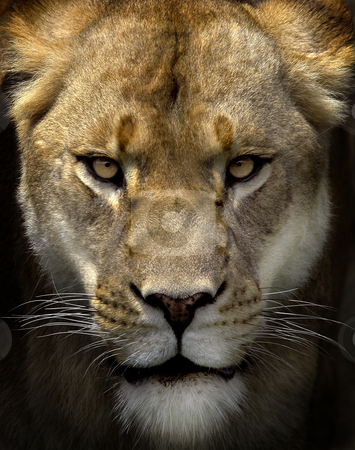 Stare stock photo, Portrait of a female lion starring by Alain Turgeon