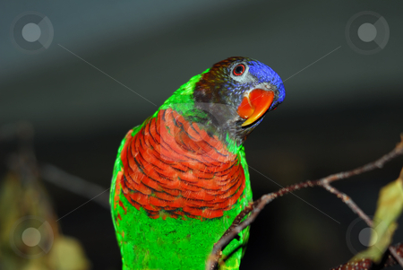 Rainbow Lorikeet  stock photo, Portrait of a colorful Rainbow Lorikeet by Alain Turgeon