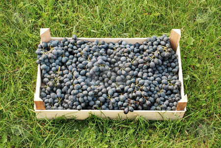 Blue grapes over green grass stock photo, Blue grapes bunches in wooden box over green grass by Julija Sapic