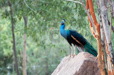 Peacock stock photo, Blue Peacock on the rock by Pawee Lorsuwannarat