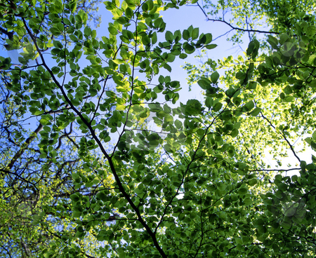 Spring leaves stock photo, Looking up in a forest at the fresh green leaves in Springtime by Paul Phillips