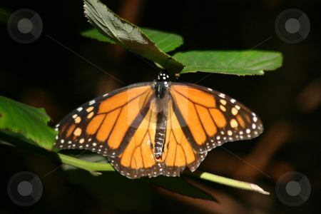 Monarch Butterfly stock photo, A Monarch butterfly taken at a preserve near Santa Cruz, CA during its migration by Ralph Muzio