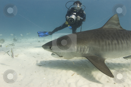 Diver Filming Scavenging Tiger Shark stock photo, A scuba diver films a tiger shark (Galeocerdo cuvier) as she swims past while scavenging for food by A Cotton Photo