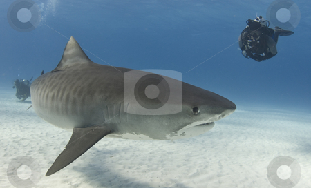 Diver Watching Tiger Shark stock photo, A diver watches a Tiger Shark (Galeocerdo curvier) swim by in the open water by A Cotton Photo