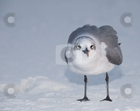 Standing Laughing Gull stock photo, A close-up head-on image of a Laughing Gull (Larus atricilla) standing on snow white beach sand by A Cotton Photo