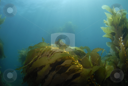 Kelp Background 3 stock photo, Giant Kelp (Macrocystis pyrifera) underwater with the sun on the surface casting light rays down. by Amanda Cotton