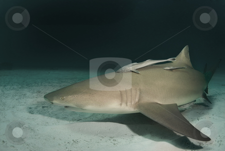 Lemon Shark at Dusk stock photo, A lemon shark (Negaprion brevirostris) underwater at dusk by A Cotton Photo