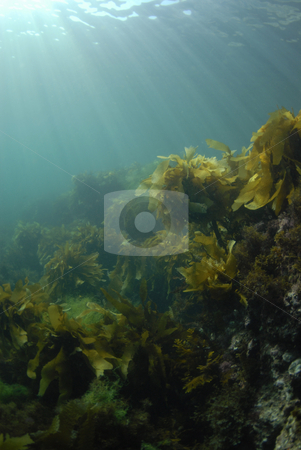 Kelp Rays Background stock photo, Giant Kelp (Macrocystis pyrifera) underwater with the sun on the surface casting light rays down. by A Cotton Photo