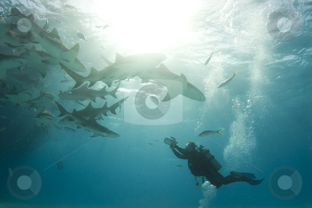 Filming Lemons stock photo, A scuba diver films a school of feeding lemon sharks (Negaprion brevirostris) by A Cotton Photo
