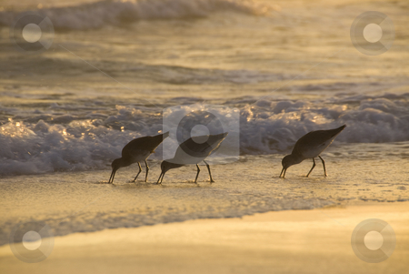Sunset Shorebirds stock photo, Three shorebirds forage for food in the surf under the golden sunset light by A Cotton Photo