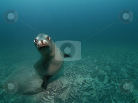 Curious Sealion stock photo, A curious California Sea Lion (Zalophus californianus) looks at the camera while swimming underwater by A Cotton Photo