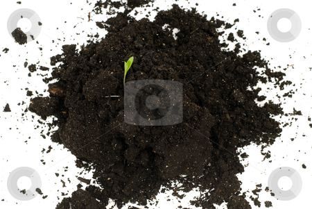 Germination stock photo, A small plant growing out of some topsoil, isolated against a white background by Richard Nelson