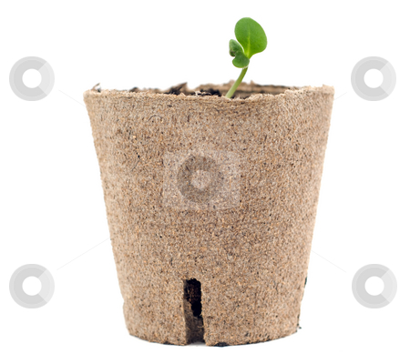 New Growth stock photo, New plant growth is showing in an environment container, isolated against a white background by Richard Nelson
