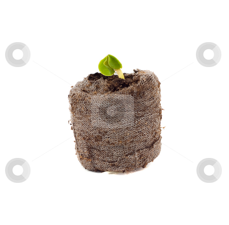 Seedling stock photo, A small seedling growing out of a starter soil pod, isolated against a white background by Richard Nelson