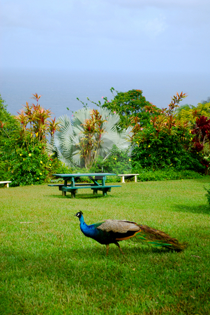 Peacock picnic area stock photo, A single peacock in front of a relaxing picnic area on Maui, HI on the road to Hana. by Chris Driscoll