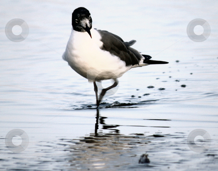 Bird Walk stock photo, Bird walking in the water on the beach. by Marburg