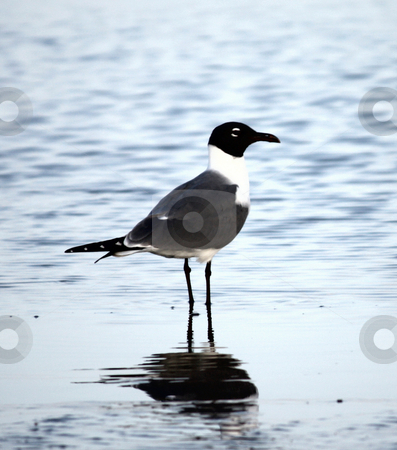 SeaBird stock photo, Seagull standing in waves looking down the beach by Marburg