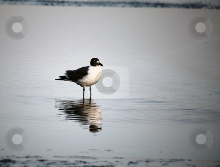 Solitary Bird stock photo, Solitary Bird standing in water by Marburg
