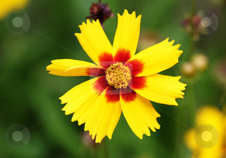 Brightly red and yellow flower stock photo, Beautiful brightly red and yellow flower on a white background by Christopher Meder