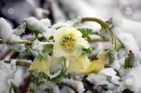 Hellebore Flowers Blooming In Snow stock photo, White hellebore flower, otherwise known as a Christmas Rose is blooming within the snow for an unusual floral photo. by Valerie Garner