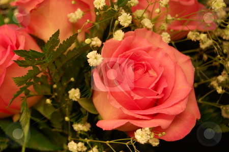 Pink Rose stock photo, A beautiful pink rose by Crystal Srock