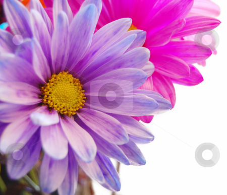 Fresh Spring Flowers stock photo, Purple and pink flowers that are isolated on the right side by Crystal Srock