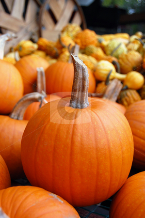 Pumpkins in Harvest stock photo, New small pumpkins and gourds in background by Crystal Srock