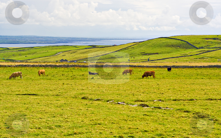 Cows in Meadow stock photo, Cows grazing in a meadow in County Clare, Ireland by Stephen Bonk